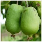 Aktinidijų komplektas (vyriškas ir moteriškas augalai) 1+1 vnt.