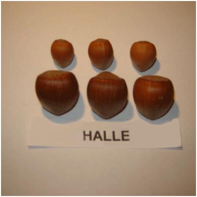 "Lazdynas ""Halle"" 2"