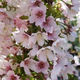 """Nykštukinė vyšnia """"Kojou-no-mai"""" (dekoratyvinė)"""